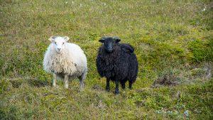 Islandzkie barany, Wschodnia Islandia