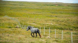 Islandzkie konie, Fiordy Zachodnie